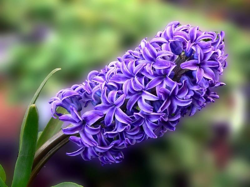 Purple-Hyacinth-Flowers-That-Mean-Sorry