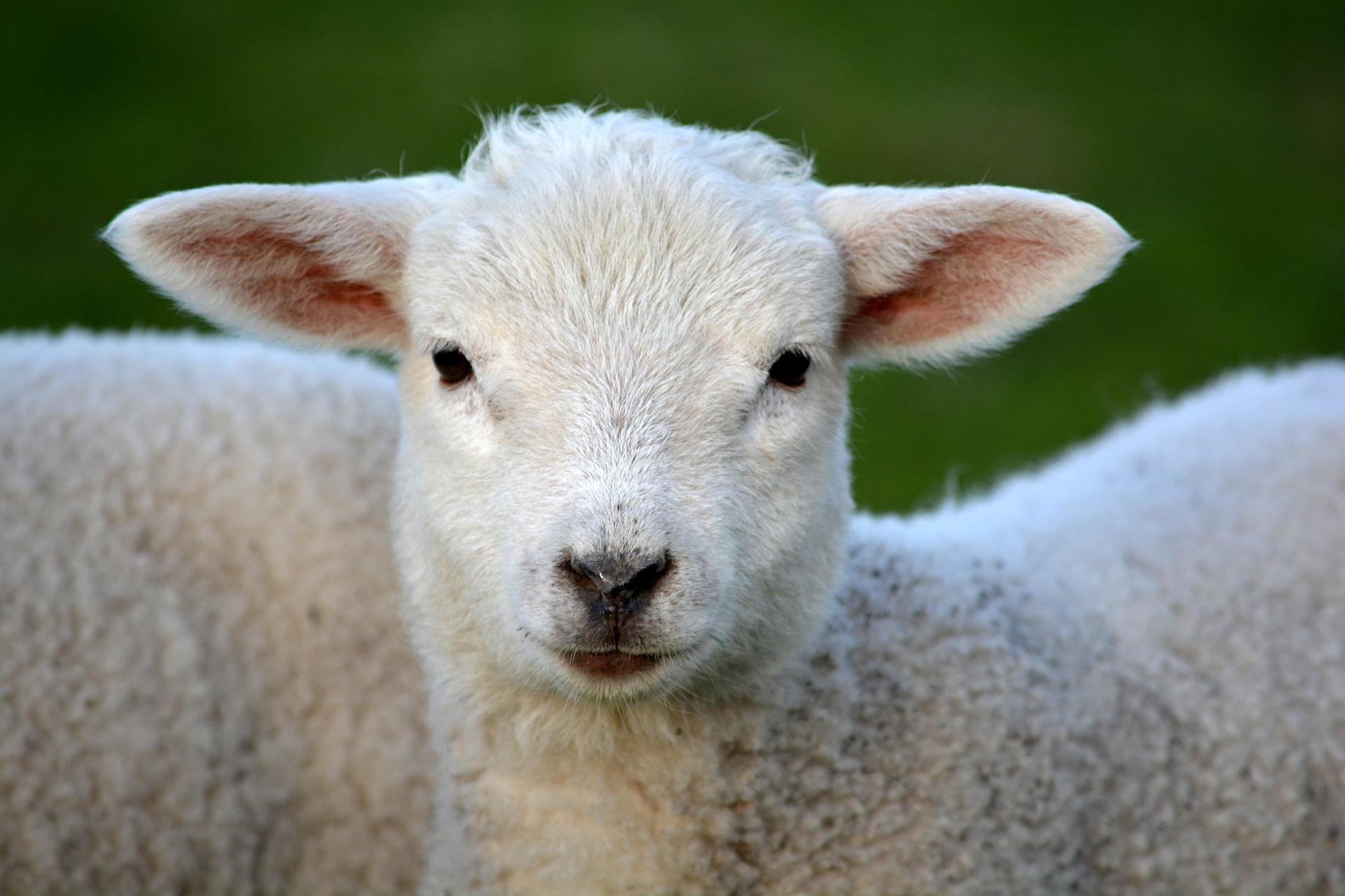 lamb-292512_1920