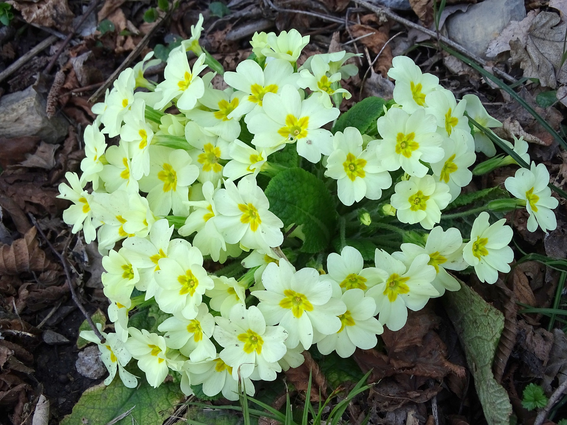 primroses-697144_1920